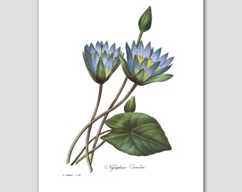 Blue Lotus Art, Water Lily (Flower Illustration, Asian Wall Art) -- Pierre Redoute
