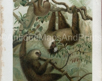Antique Print Two Toed Sloth Natural History 1894 Lydekker Chromo