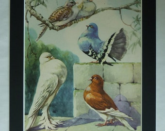 1950s Vintage Fancy Pigeon Keeping Print, Racing Bird Gift, Available Framed, Fancier Art, Fancying Picture Rock Dove Decor Fantail Wall Art