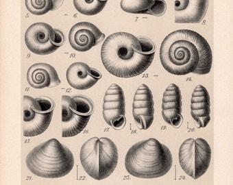 1909 Collection of Snail Shells Print, Gastropod Molluscs, Shells Illustration Chart, Antique Print, Vintage Lithograph Natural History