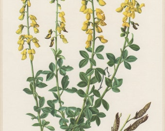 1960 Vintage Botanical Print, Cytisus nigricans, Yellow Broom Flower, Botany Illustration, Home Wall Decor, Geissklee, Floral Art