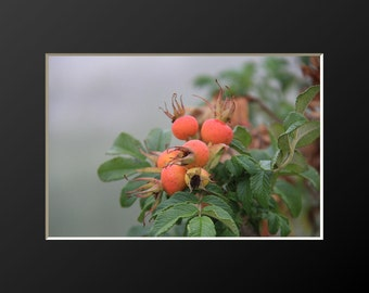Fall Beach Rose Photography Rosa Rugosa Autumn Rose Hips Botanical Wall Art Coastal Home Decor New England Artwork Sea Cape Cod Photograph