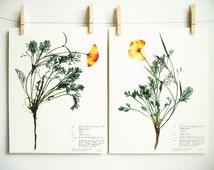 California Poppy Print Set, #61ab, botanical print set orange wildflower art herbarium specimens pressed flowers prints dried flower art