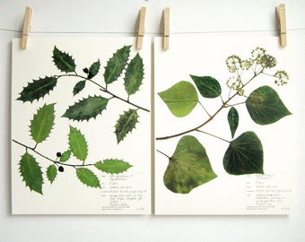 The Holly and The Ivy Botanical Print Set of Herbarium Specimens, Pressed Plants Prints, Dried Plant Art, 214, 216b