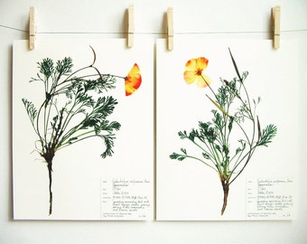 California Poppy Print Set, #61ab, botanical print set california state flower herbarium specimens pressed flowers prints dried flower art