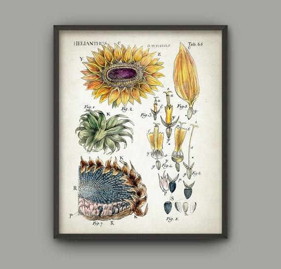 Sunflower Botanical Art Print Vintage Botanical Home Decor