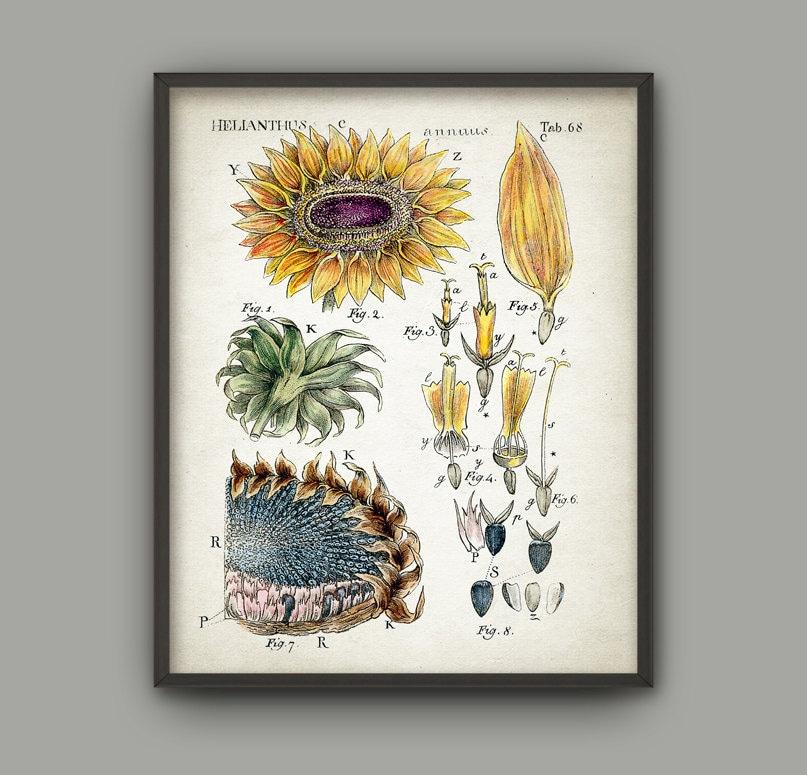 Sunflower botanical art print vintage botanical home decor for Sunflower home decor