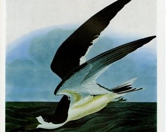 """Vintage Audubon Bird Print """"Black Skimmer and Brown Noddy"""" C. 1960 Vintage Decor 12x15"""""""