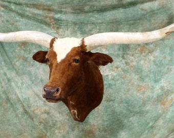 Texas Longhorn Taxidermy Shoulder Mount