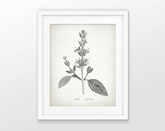Sage Herb Art Print - Antique Sage Drawing - Botanical Herb - Cooking - Kitchen Herb Decor - Single Print #1642 - INSTANT DOWNLOAD