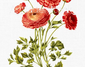 Ranunculus Flowers Clip Art 'Persian Buttercup' Botanical Illustration Digital Download for Wall Decor, Scrapbook, Collages, DIY Crafts...