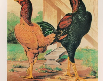 Vintage Poultry Print, Double Sided Print by Ludlow: Malays, Chickens