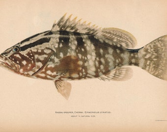 1905 Nassau Grouper Fish Antique Print