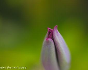 Floral Photography, Nature Photograph,Botanical Photography, Floral Print, Flowers, Purple Flowers, Tulip Photograph, Macro Photography