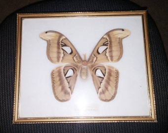 Vintage Professionally Displayed Giant Silkworm (Atlas) Moth in Beautiful Condition