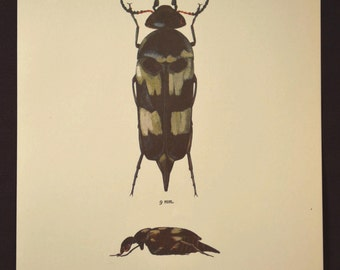 Nature Wall Art Print Beetle Decor Insect Cabin Illustration
