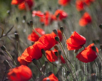 Poppies, red poppy, poppy print, floral print, flower photography, flower prints wall art, flower art, large art prints, red flowers