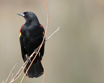 Red winged blackbird, bird, songbird, photo, print, photography, wall art, home decor, nature photography, free shipping
