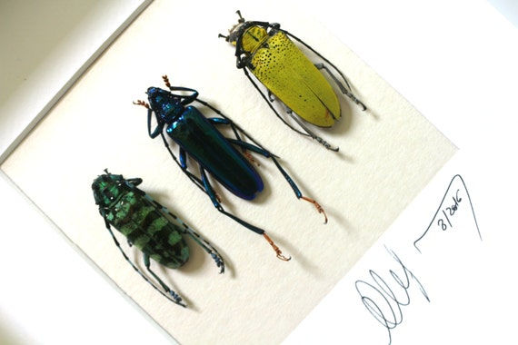 Artframe with real insects : Topquality display with trio of real mounted longhornbeetles   , FREE SHIPPING