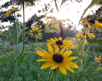 Wildflower Photography: Black Eyed Susans Flowers at Golden Hour Square Photo Print
