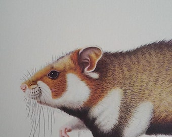 """The Hamster"" plank color ""annotated Illustration / Museum natural history"