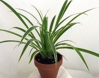 """Reverse Variegated Spider Plant - 4"""" Clay Pot for Better Growth - Cleans the Air (FREE SHIPPING)"""
