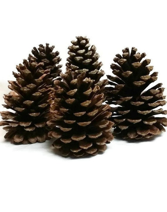 Natural pine cones 5 large long needle pine cones real for Long pine cones