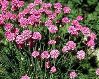 Armeria 'Sea Pink' - 1 Gallon