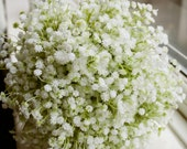 Natural gypsophilia (baby...