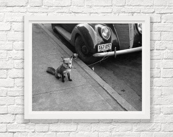 Pet Fox Tied to a Car - Moorehead Minnesota - 1940 - Black and White Photograph - Vintage Photography - Fox - Street Photography - Art Photo
