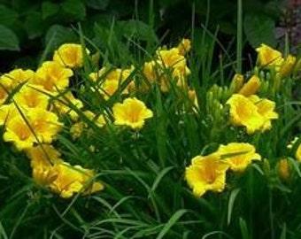 "Daylily (Hemerocallis ""Stella De Oro"")-perennial-live plant"