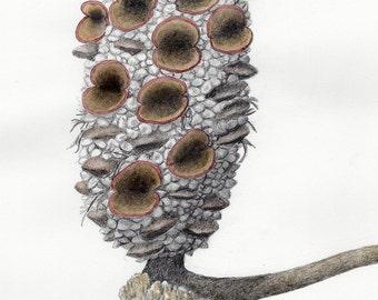 Banksia Seed Pod Drawing #3