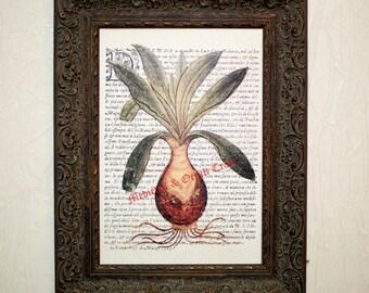 Botanical print, Herbal, Canvas Print, Drimia maritima, herb, antique print, canvas, herbal poster, floral print, botanical art #0041