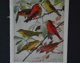 1936 Birds of America Vintage Bird Print Original Book Page - Tanagers Swallows and Martins