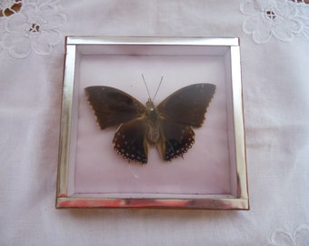 Naturalized framed butterfly, 70