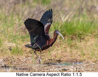 Glossy Ibis #2: Bird art photography prints for home or office wall decor.