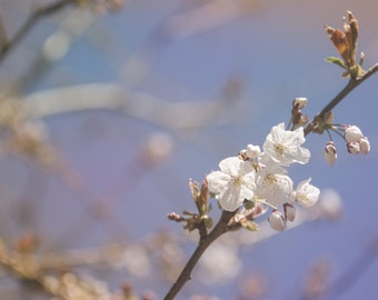 Cherry Blossom Art in spring, nature photography