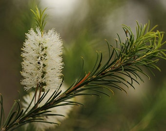 Organic Tea Tree Essential Oil   Pure Melaleuca Alternifolia 1/2 oz (15ml)