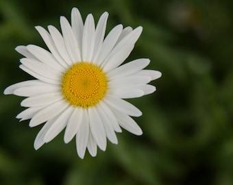 Shasta Daisy Photo // Shasta Daisy Pictures // Daisy Photography // Flower Photography // White Flower Photos // White and Yellow Flowers