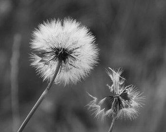 Dandelion - Flower - Dandelion Photo - Flower Photo - Black and White - Digital Photo - Digital Download - Instant Download - Bedroom Decor