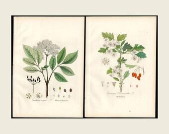 1880 2x Antique Print Hawthorne & Elder Dietrich Forest Flora Hand Color Copper Plate Engraving Antique Botanical,  2 Prints FREE SHIPPING