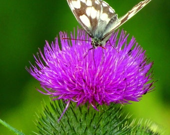 Nature, Butterfly, original photography, Thistle, British, Countryside, British countryside