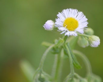 Small white Daisy Flower