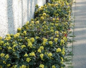 LIVE plant Mahonia aquifolium very cold hardy broadleaf evergreen (-28.8C (-20F))