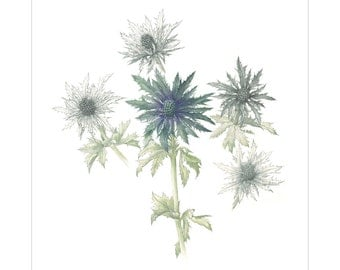 Eryngium Vega Questar Giclee Print by Heather Raeburn