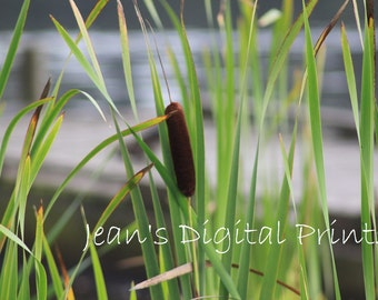 Cattail by the River