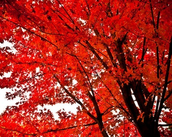 1 Red Maple Tree
