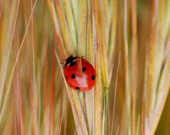 Y5 - Ladybug on Foxtails