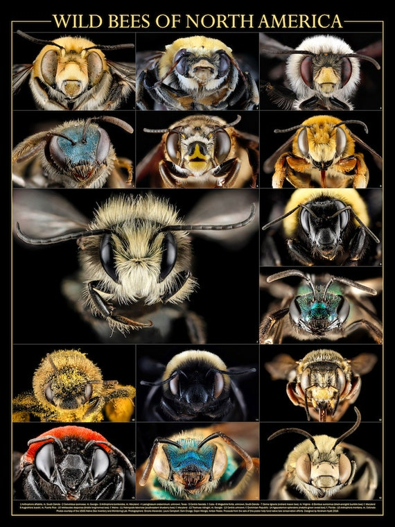 Wild Bees of North America poster