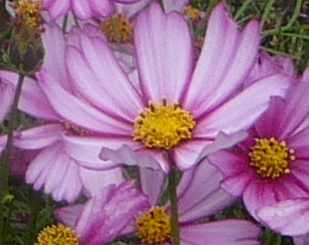 """Cosmos bipinnatus """"Cosmos"""" 20 Seeds"""